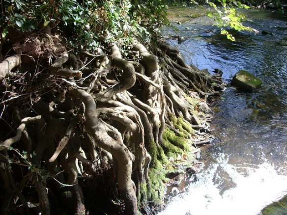 Tree roots by water